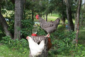florida chickens