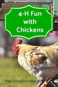 4h chickens